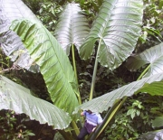 Alocasia robusta 'Sarawak'
