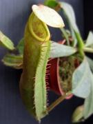 N. veitchii (Hose Mtns)