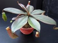 N. longifolia (red)
