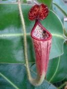 N. glandulifera